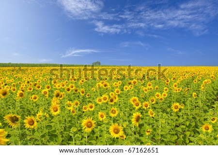 A field of sunflowers, Thailand