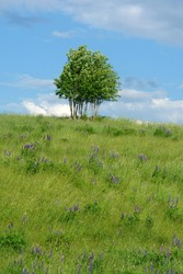 A field of violet Lupinus, commonly known as lupin or lupine. Green lupine hill with a single tree against blue sky with clouds. Poland, Europe