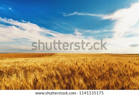 a field of wheat #1141135175