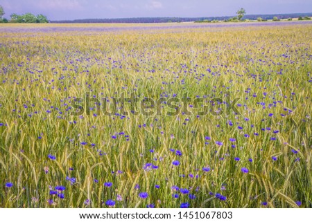 A field of wheat and cornflowers in the summer #1451067803