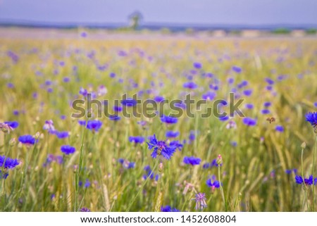 A field of wheat and cornflowers in the summer #1452608804