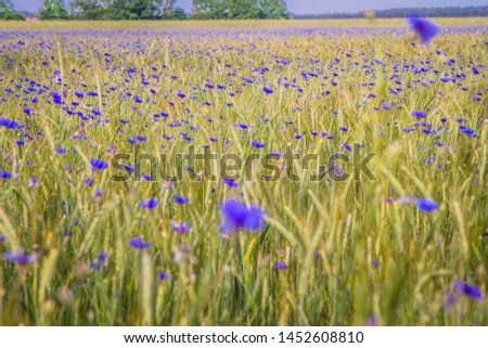 A field of wheat and cornflowers in the summer #1452608810