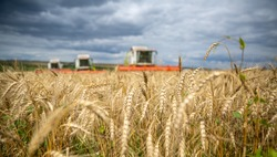 a field of wheat and three combine harvesters in the background. Autumn, grain harvesting,