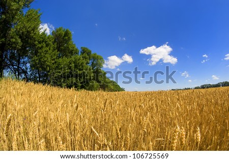 A field of wheat on blue sky background.