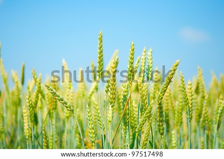 a field of wheat on blue sky background #97517498