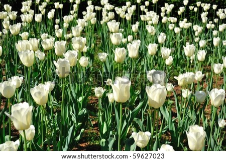 a field of white roses