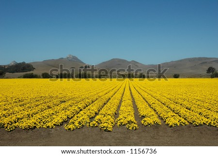 A field of yellow flowers under a blue California sky.