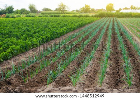 A field of young green leek plantations. Growing vegetables on the farm, harvesting for sale. Agribusiness and farming. Countryside. Cultivation and care for plantation. Improving efficiency of crop.