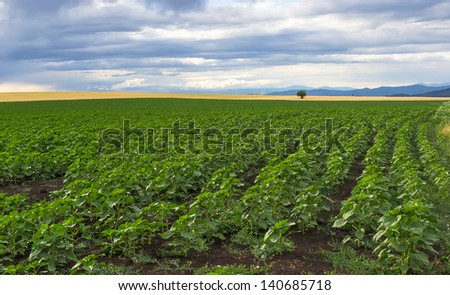A field of young green stems sunflower - stock photo