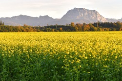 A field with flowering mustard plants in autumn in the Salzkammergut - Mustard is a hot spice made from the seeds of white, brown and black mustard.