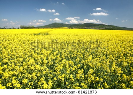 A field with flowering yellow oilseed rapeseed