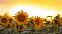 A field with many blooming sunflowers during sunset.