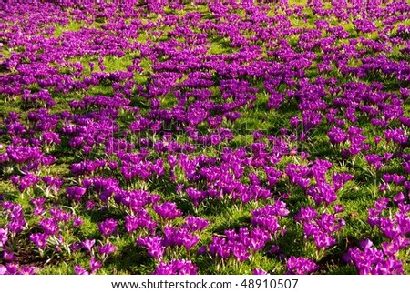 A field with violet crocuses - stock photo