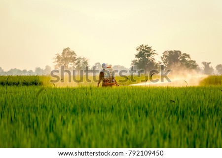 A field worker is spraying chemical fertilizer in the middle of a paddy field