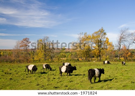 A fields with cows that look like Oreo cookies.