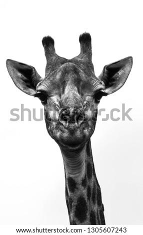 A fine art portrait of a giraffe