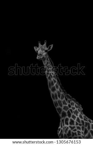 A fine art portrait of a giraffe.