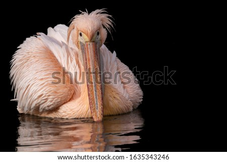 a fine art portrait of a swimming pink pelican with reflection in water