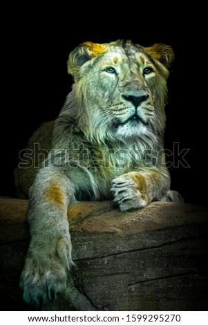 a fine art portrait of a young male lion