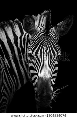 A fine art portrait of a zebra