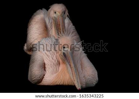 a fine art portrait of two swimming pink pelicans