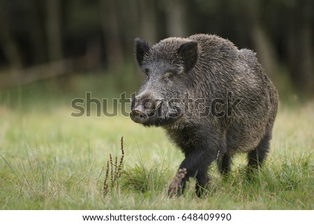 A fine male boar in a German forest #648409990