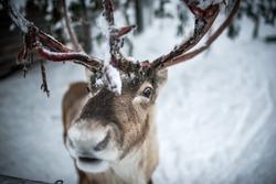 A Finnish reindeer