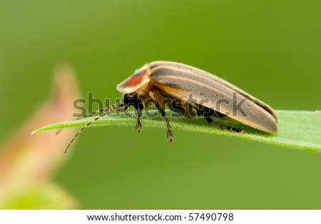 A firefly resting on a blade of grass in the early morning