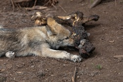 A first year captive grey or timber wolf pup is laying down eating and chewing on a dead animal carcass.