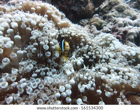 A fish in a patch of anemones.