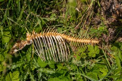 a fish skeleton on the grass