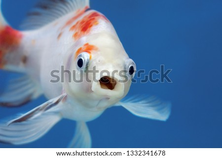 A fish with wide open mouth and big eyes in fishtank, Surprised, shocked or amazed face front view stock photo