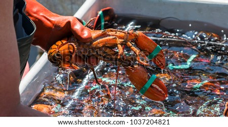 A fisherman is holding a live lobster over one of the bins that he is sorting the lobster into to sell at the end of the day. #1037204821