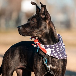 A five month-old perky-eared puppy with black fur and slight brindle wears an American flag bandana. Pit Bull, German Shepherd, Boxer, Bulldog, Siberian Husky, Rottweiler Mix. Space for copy