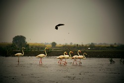 A flamboyance of flamingos wading in water in rural India while a bird of prey hovers over them