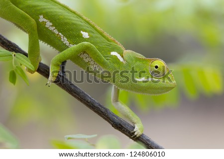 A Flap Necked Chameleon, (Chamaeleo dilepis), in South Africa.