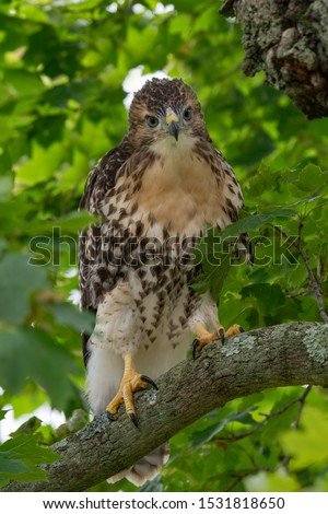 A fledgling Red-tailed Hawk perched in a tree.