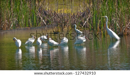 A flock of adult American White Ibis (Eudocimus albus) and a snowy egret standing in a pond in Florida in January.