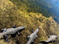 A flock of alligators hunts fish. Big Cypress, Florida
