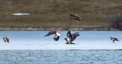 A flock of American bald eagles on a sheet of ice fighting over a white feathered bird. A mature American Eagle has its claws down getting ready to pitch and grab the food from the other raptors.
