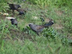 A flock of Apostle birds on the ground grazing through grass. Australian birds in green grass.