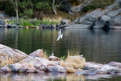 A flock of Arctic Terns flying and resting on an outcropping of rocks, on the Island of Aspö in Archipelago National Park (Skärgårdshavet nationalpark), Finland.