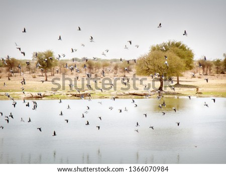 A flock of birds (dominated by pigeons) over the pond in the semi-desert. Bird watering