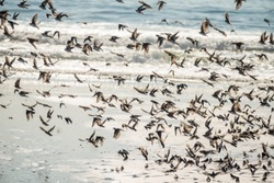 A flock of birds of swallows in flight close-up over the waves of the ocean.