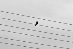 A flock of birds sits on electric wires against the backdrop of a cloudy sky. Black and white image .