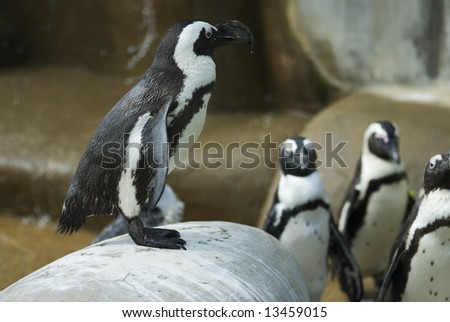 A flock of black and white African penguins on a rocky outcropping