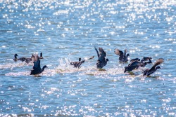 A flock of black birds with a red beaks, Common moorhens swims in the lake. Common moorhen, lat. Gallinula chloropus on the water