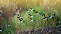 A flock of black-winged stilt flying over a lake during great migration in Asia. Migratory wild birds. Bird migration. Motion blurred.