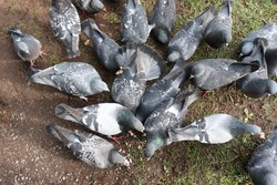 A flock of blue pigeons pecking at crumbs on the ground. Beautiful city birds. Top view.