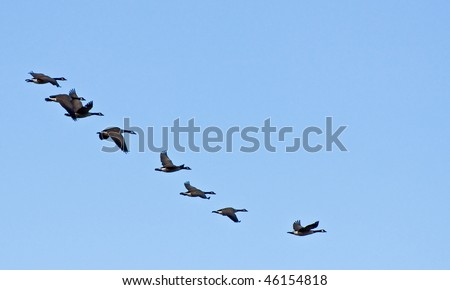 A flock of canada geese fly in a line formation against blue sky